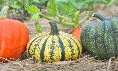 """Netikėtas sprendimas: derlius dera ne tik šiltnamyje, bet ir """"šiaudų vazose"""""""
