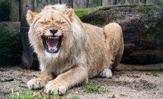 Naujas zoologijos sodo liūtas