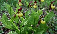 Gražiausia mūsų miškų gėlė – plačialapė klumpaitė