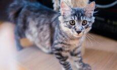 Kurilų katės