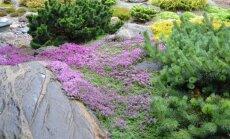 Čiobrelius galima auginti ir dekoratyviniuose želdynuose.