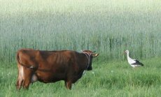 Karvė ir gandras