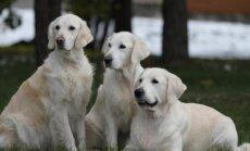 Kaniterapijai paruošti šunys