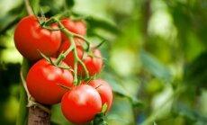 """<span style=""""color: #ff0000;"""">Įdomu:</span> originali ukrainietiška pomidorų kolekcija"""