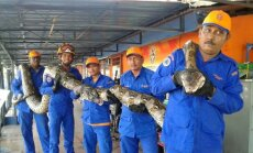 Malaizijoje rastas pitonas gali būti ilgiausias pasaulyje