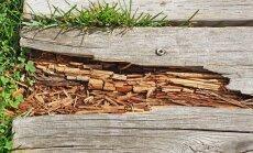 Medienos puvimas: ką apie jį reikėtų žinoti?