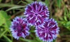 Gėlės skynimui: patikrintos įdomios veislės iš augintojos lūpų