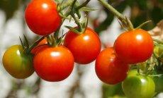 Ekspertė atsako į dažnai kylančius pomidorų auginimo klausimus