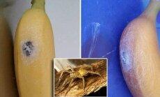 Bananuose rado vorų