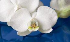 Ekspertų patarimai, kad orchidėjos vasarotų saugiai ir atlaikytų karščius