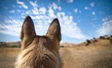 Vilkinis šuo