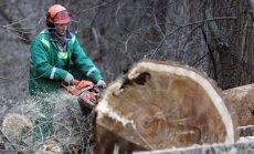 Medžių kirtimui kai kuriais atvejais reikia gauti leidimus iš savivaldybės