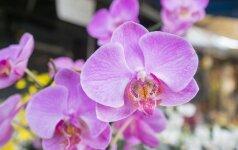 Orchidėjų priežiūra rudenį ir žiemą: ar tikrai jos lepios?