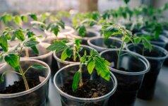 Daigų sodinimo kalendorius geriausiam derliui: mažytį šiltnamį kambaryje galite turėti ir jūs