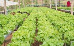 Kodėl neįmanoma įsigyti lietuviškų sėklų?