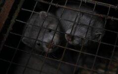 Kraupūs vaizdai iš Lietuvos fermų: štai kokį pragarą turi iškęsti bejėgiai žvėreliai