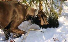 Šuniui atliko procedūrą, kurią policija prilygino žiauriam elgesiui su gyvūnais