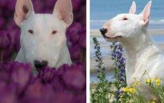 Šuo modelis: pitbulis pozuoja tulpių laukuose