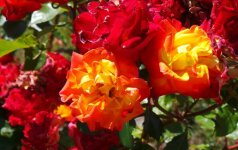 'Samba' - floribundinė rožė
