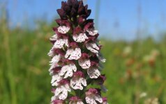 Ar pavyks išsaugoti lietuviškas orchidėjas?