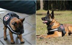 Belgų aviganė tęsia nušauto šuns Ramzio darbus: ji tampa talentinga gražuole