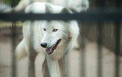 Gyvenimas per karščius Lietuvos zoologijos sode: sunkiausia – arktiniam vilkui