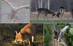 Lietuvos gamtos pavasaris: ereliai ir suopiai mankština sparnus, danieliai – ragus