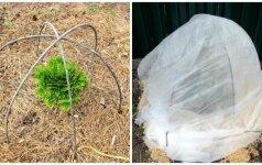 Pigus būdas, kaip paruošti spygliuočių sodinukus žiemojimui