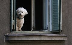 Alytiškis per balkoną išmetė kaimynės šunį