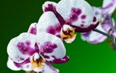 Ką svarbu žinoti, kad orchidėjos nenuleiptų per vasaros karščius