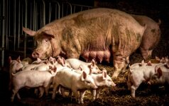 Anykščių rajone – ketvirtas AKM protrūkis ūkyje