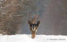 Lietuvio nufotografuotas trigalvio elnio kadras plinta po pasaulį