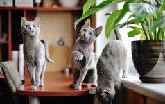 Rusų melsvosios katės – elegantiškos didikų numylėtinės