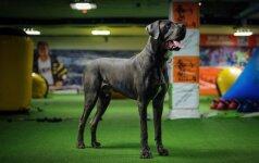 Vokiečių dogas - milžinas, kuris bijo šluotų