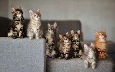 Meino meškėnai – katės, primenančios lūšis