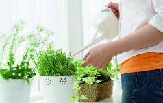 Sezono pokyčiai: kaip tinkamai pavasarį prižiūrėti kambarinius augalus