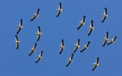 S. Paltanavičius: kalendorių kaitaliojimas grįžtantiems paukščiams niekada nerūpėjo