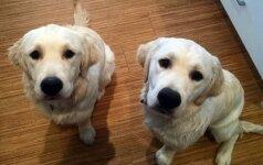 Nufilmavo juokingą nusikaltimą: gudrus šunų planas, kaip naktį gauti maisto