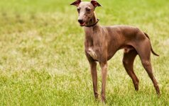 Levretės – ir Europos didikų rūmus puošusi šunų veislė