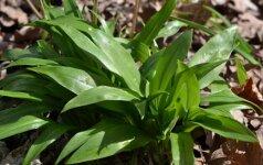 Meškinio česnako lapai primena pakalnučių lapus, tik kvepia česnakais.
