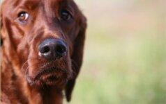 Šunų intelektas – kaip dvimečių vaikų