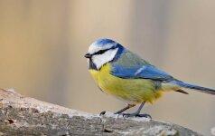 S. Paltanavičius: jau galime laukti pirmosios zylės giesmės ir žvalgytis žibučių