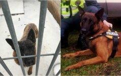 Tarnybą baigęs šuo Rudis būtų užmigdytas: paliktas šuo laukia stebuklo