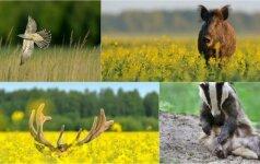 Gamtos dienoraštis: besišypsanti šernė ir slėpynes žaidžiantis elnias