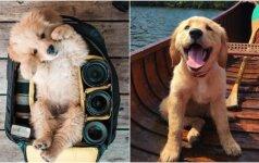 Neįtikėtinai mieli gyvūnai: auksaspalvių retriverių jaunikliai kelia šypseną