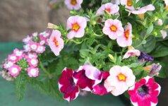 Balkonų puošybos gėlėmis ABC: viskas paprasčiau, nei atrodo