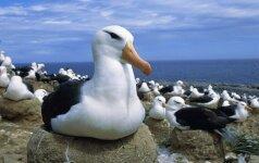 Anglijos paplūdimiuose – būrys girtų kirų: paukščiai svaiginosi šiukšlėse