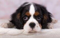 Kaip sukčiauja internetu šuniukus pardavinėjantys daugintojai