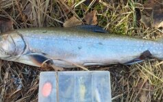 Kai sekasi, tai sekasi: sugavo išnykusia laikytą žuvį