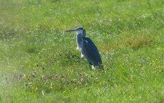Garniai ir kormoranai išskristi neskuba